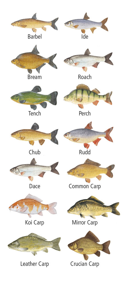 The fish stock includes:  Common Carp and Mirror Carp to over 20lb, Bream to over 8lb, Tench, Perch, Roach, Rudd, Chub and Barbel.