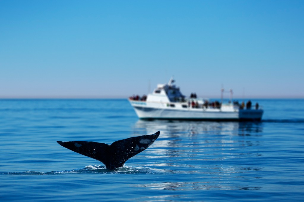 An Insider's Guide At Preparing For A Whale Watching Tour