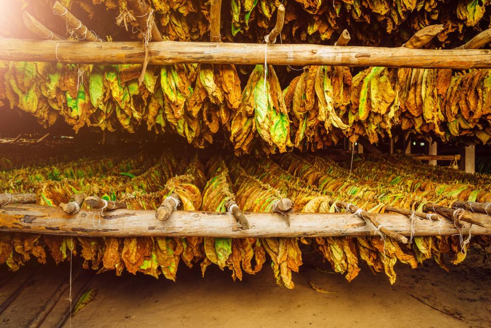 What You Need To Know Before Growing Tobacco At Home