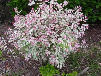 Snowbush -( Breynia disticha )