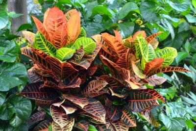 Croton - ( Codiaeum variegatum )