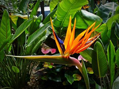 Bird of Paradise - ( Strelitzia reginae )