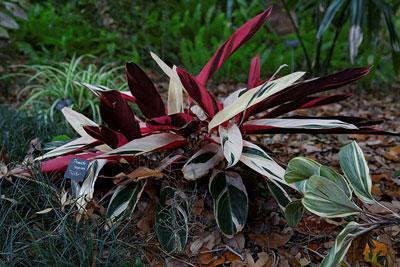 Stromanthe Triostar- ( Stromanthe sanguinea )