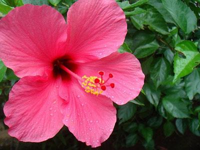 Hibiscus - ( Hibiscus rosa-sinensis )