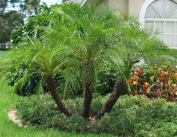 Pygmy Date Palm - ( Phoenix roebelenii)