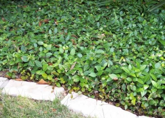 Asian Jasmine - ( Trachelospermum asiaticum )