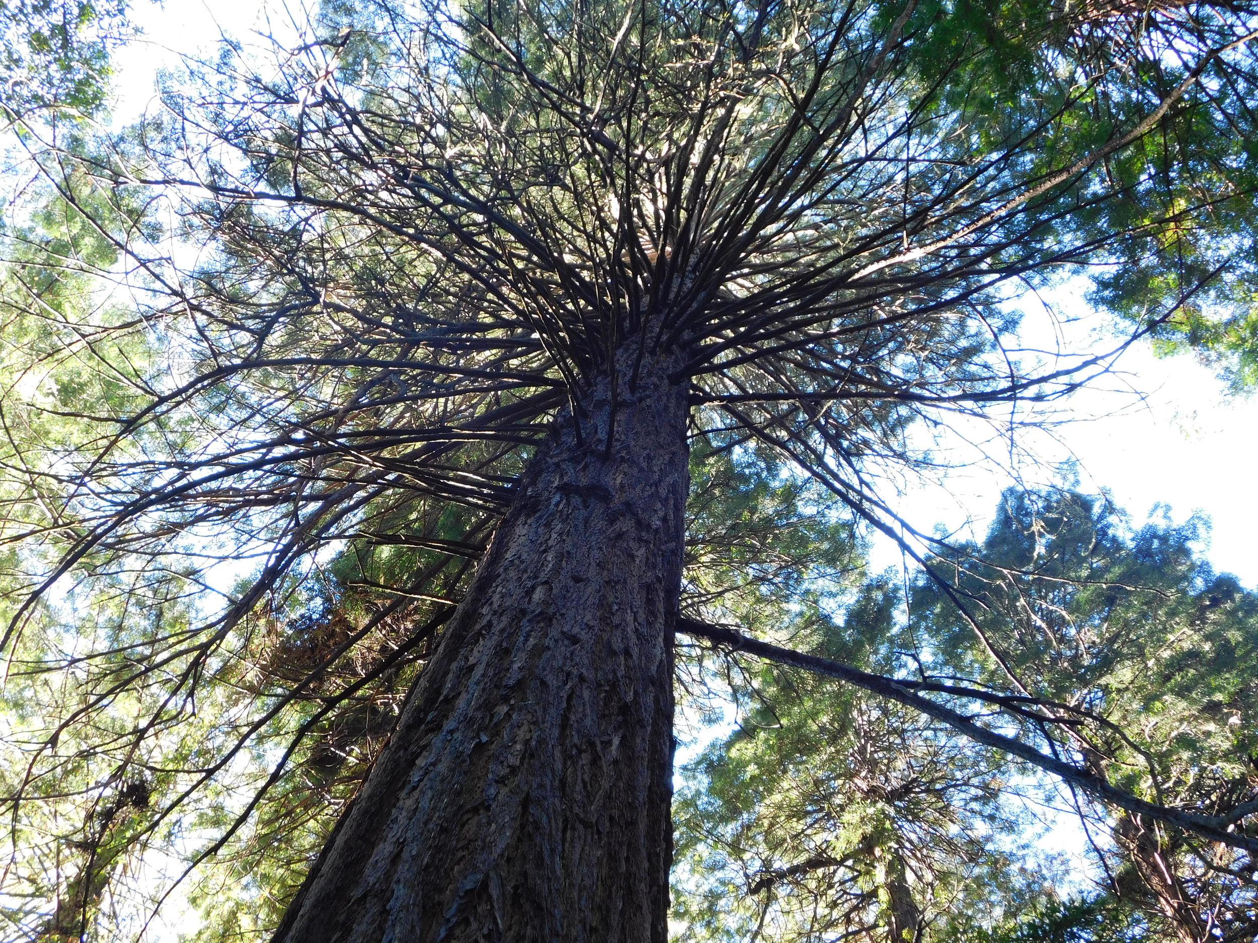 Tall Redwood trees!
