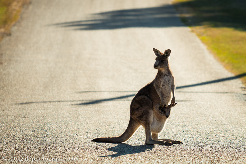 Kangaroo Sun-1.jpg