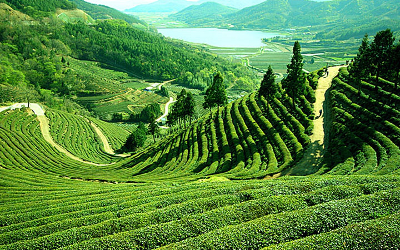 Darjeelling tea and gin