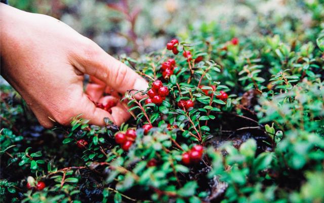 Sweden lingon berries