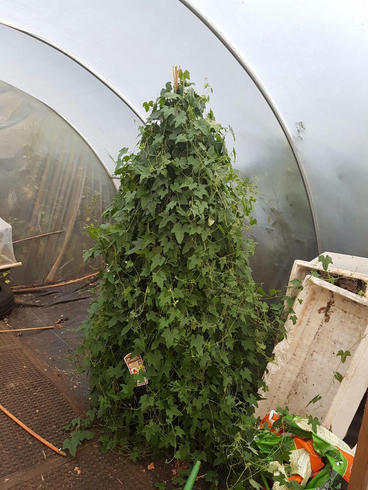 Cucamelon plant