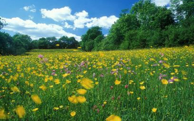 Kingcombe meadows in devon wildflowers and butter cups idyllic countryside