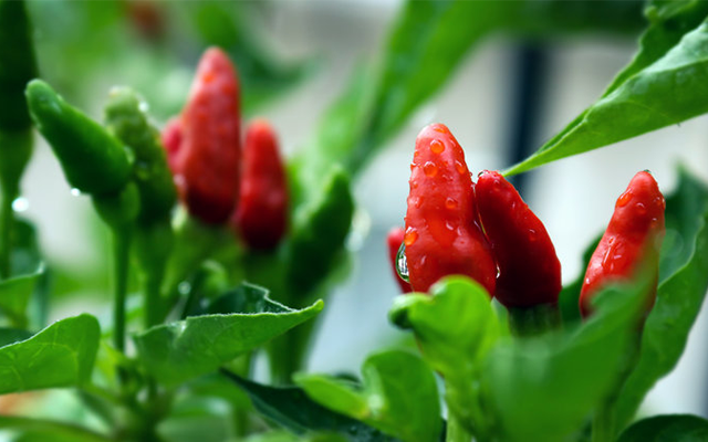 chilli-plant.png