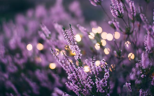 lavender-bush.png