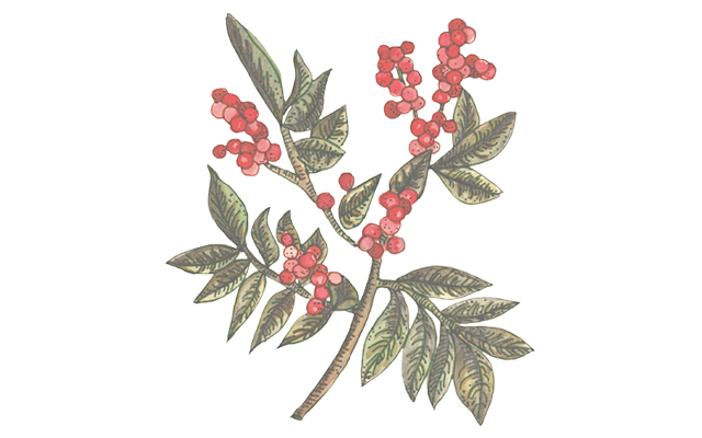 pink pepper botanical.jpg