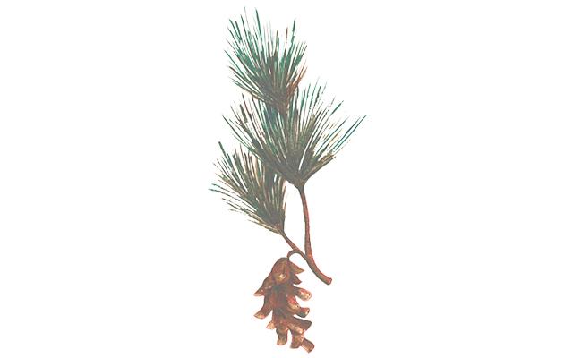pine botanical.jpg