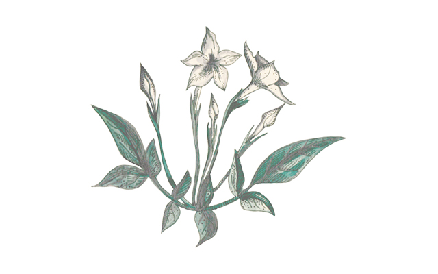 oolong tea botanical.jpg