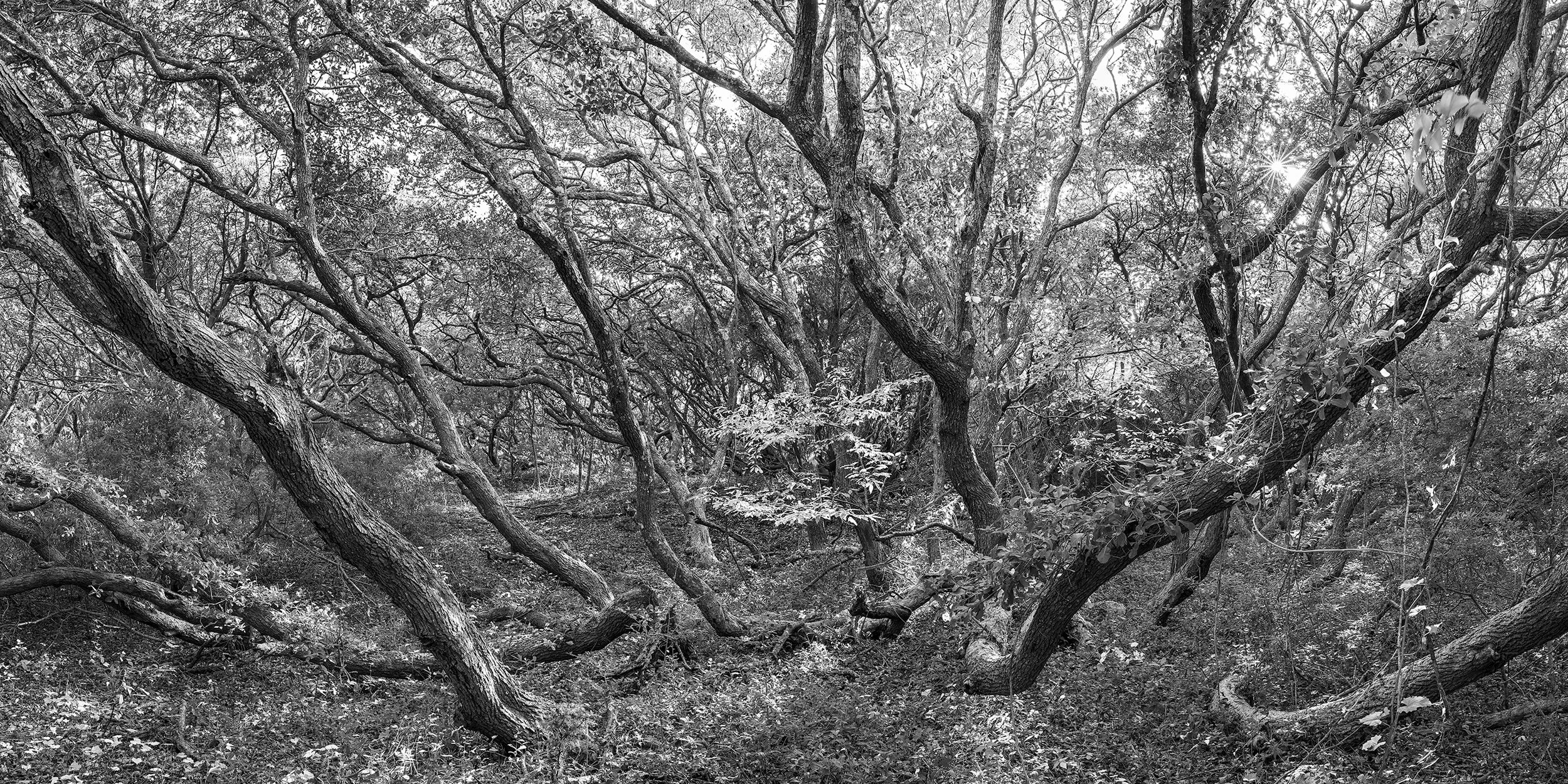 Panorama of old growth maritime forest seen along the Elliott Coues Nature Trail at Fort Macon State Park