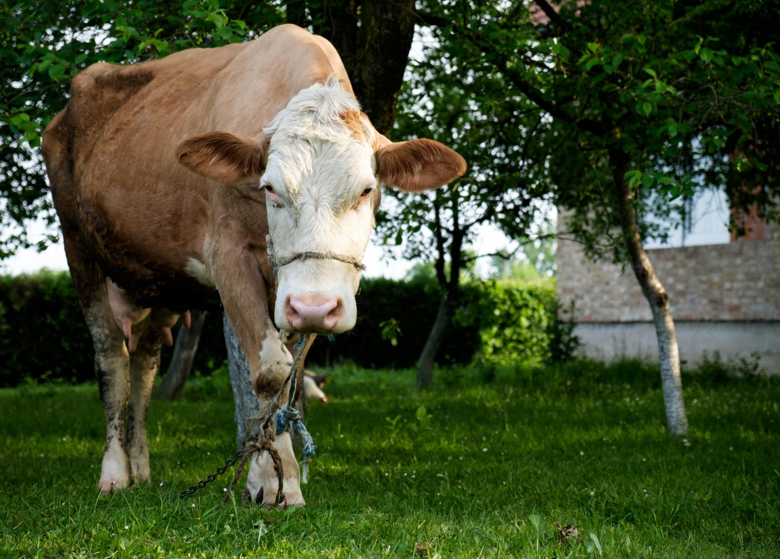 Une vache comme animal domestique, pourquoi pas.