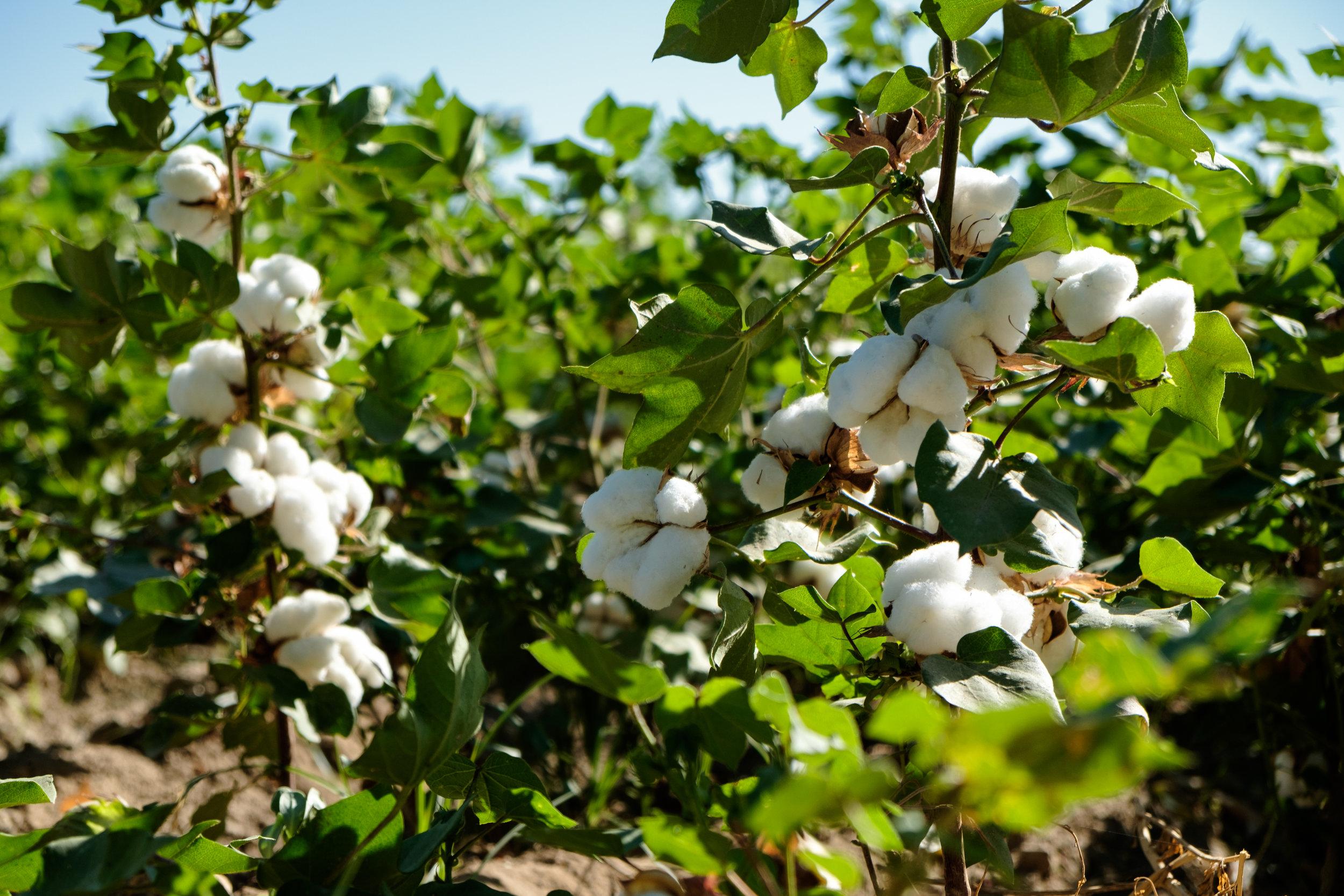 Après Khiva, je passe devant des champs de coton tout blanc et... cotonneux !