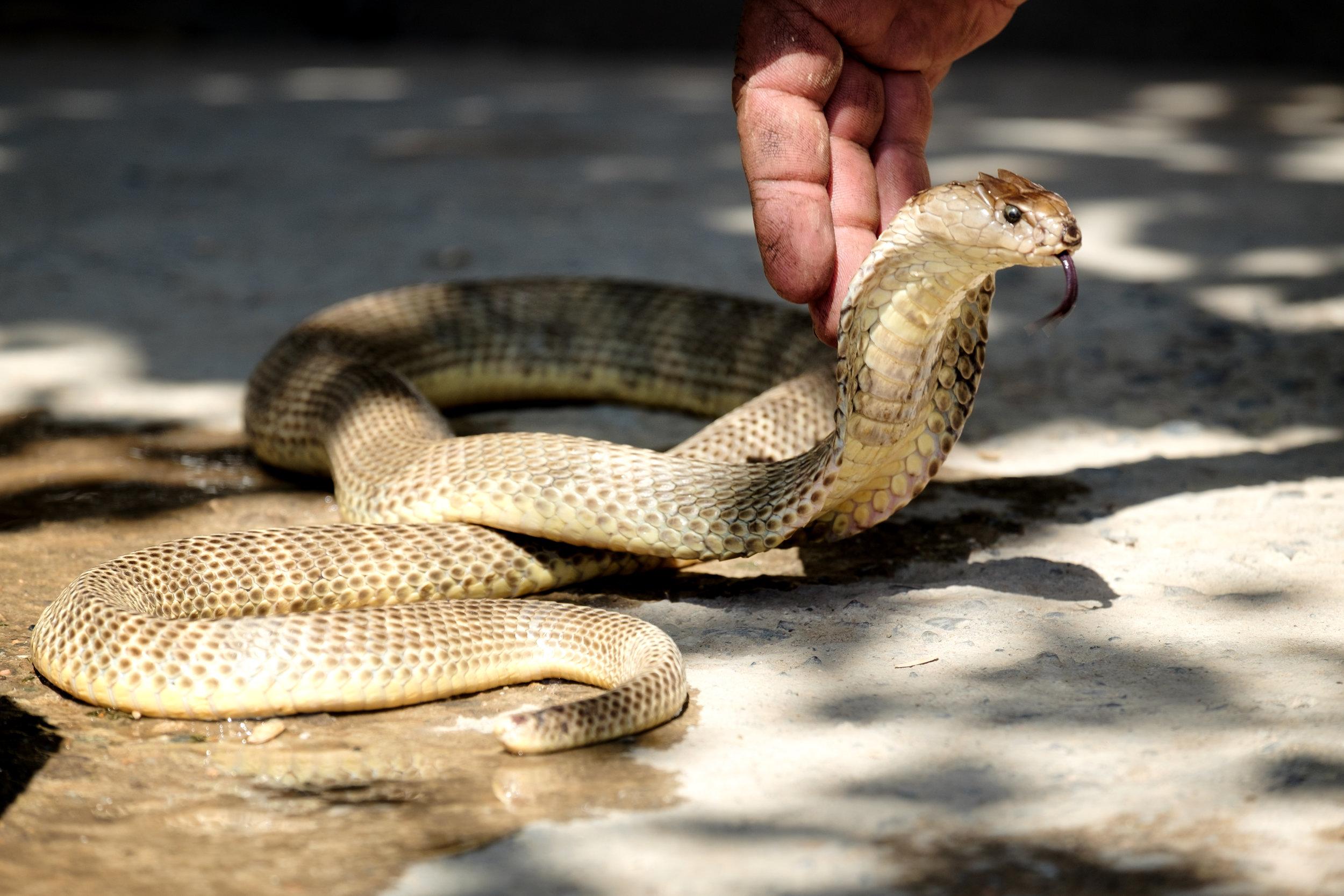 Le fameux cobra du magicien !