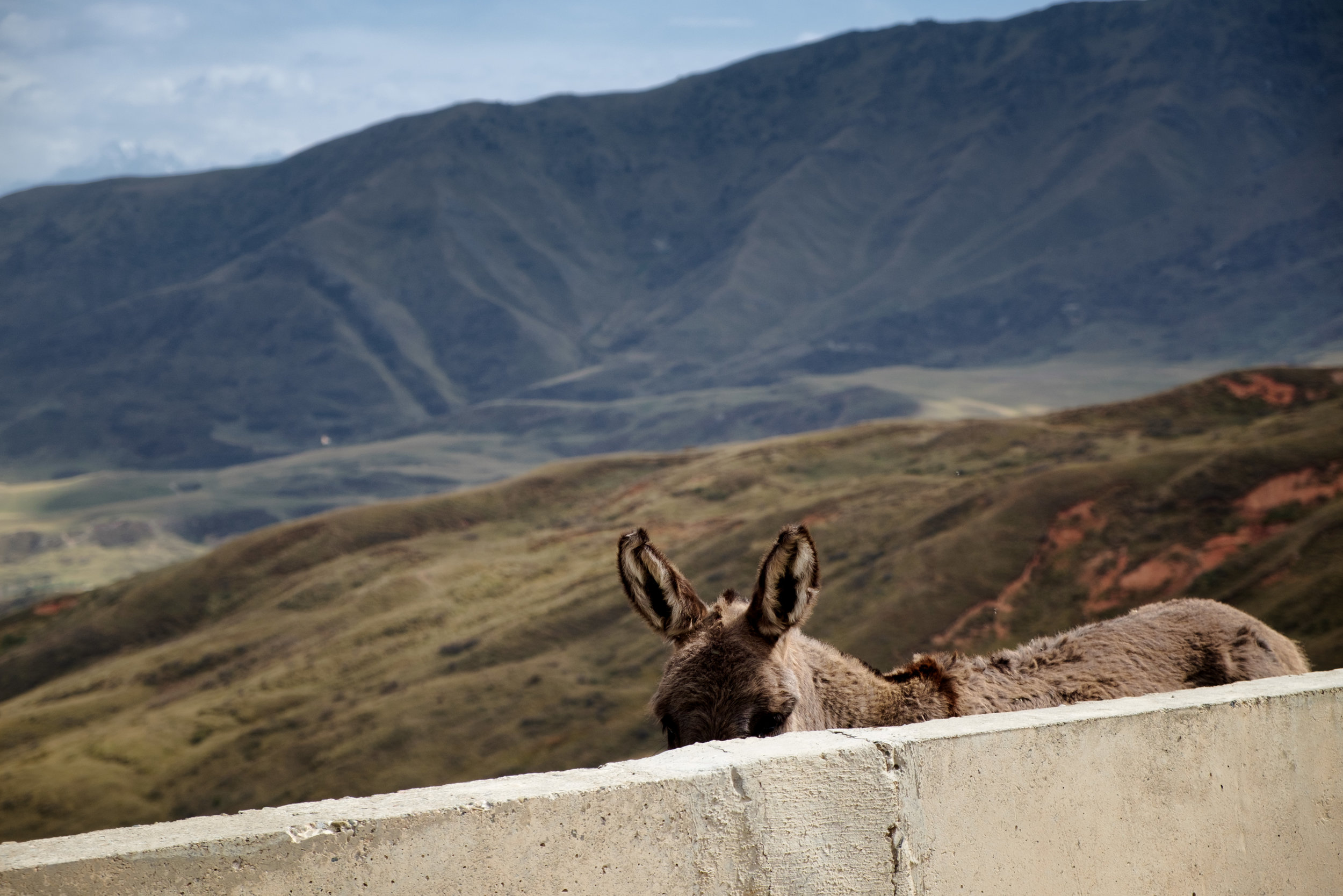 Un âne timide sur le bord de la route.