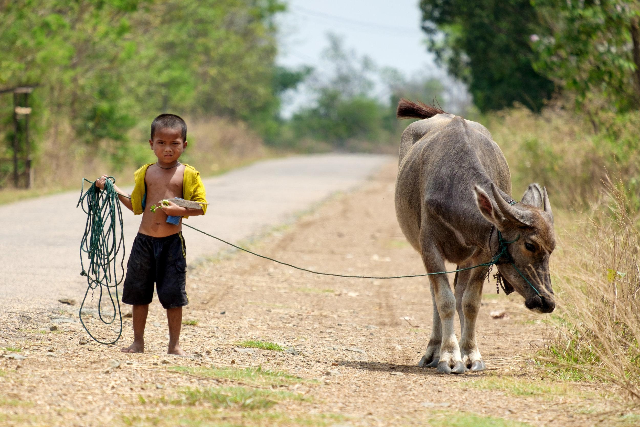 Et un enfant promène son bœuf asiatique !