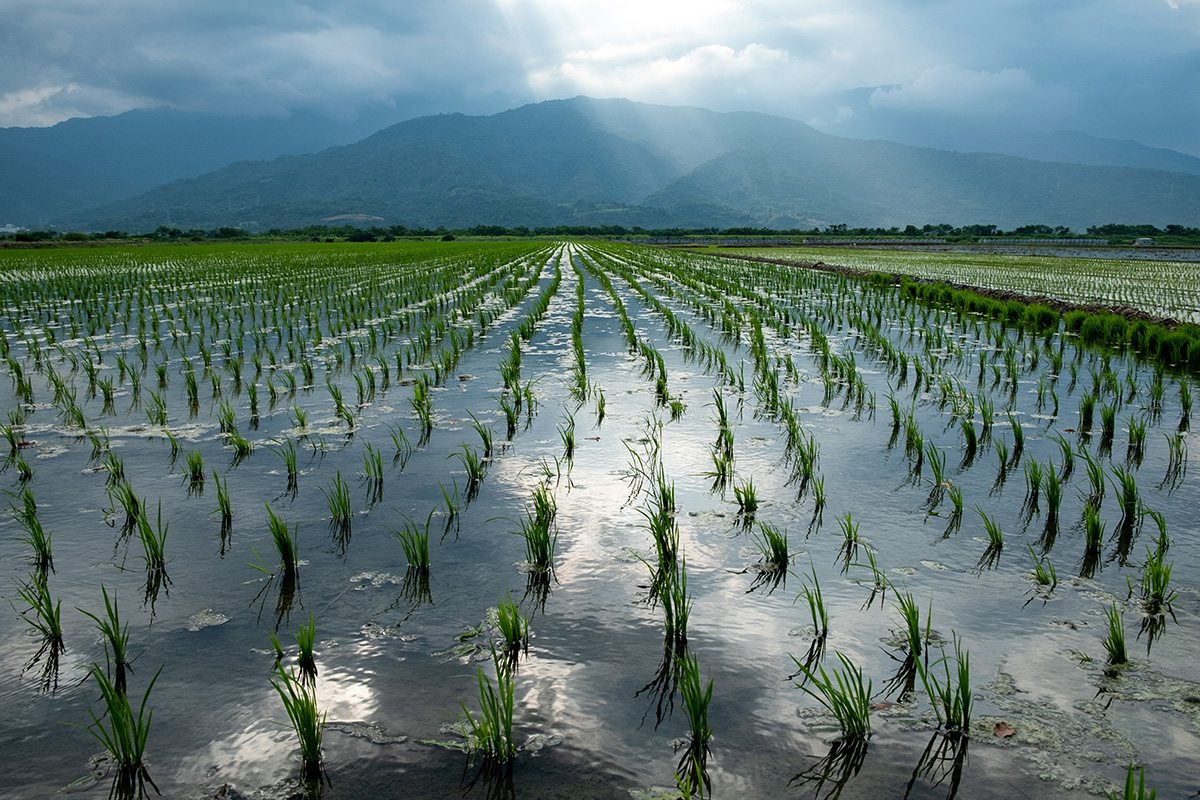 Jeunes pousses de riz dans les champs à perte de vue.