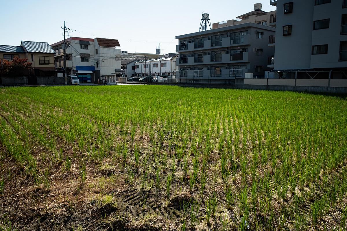 Agriculture urbaine : un champ de riz entre quelques édifices dans la grande ville d'Osaka.