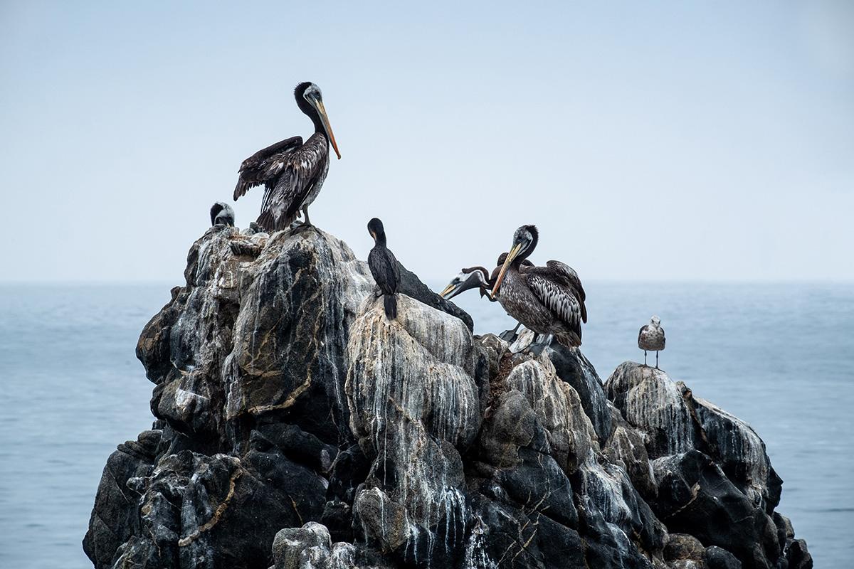 Des pélicans sont installés à quelques jets de pierre de la côte, entre Viña et Valparaíso.
