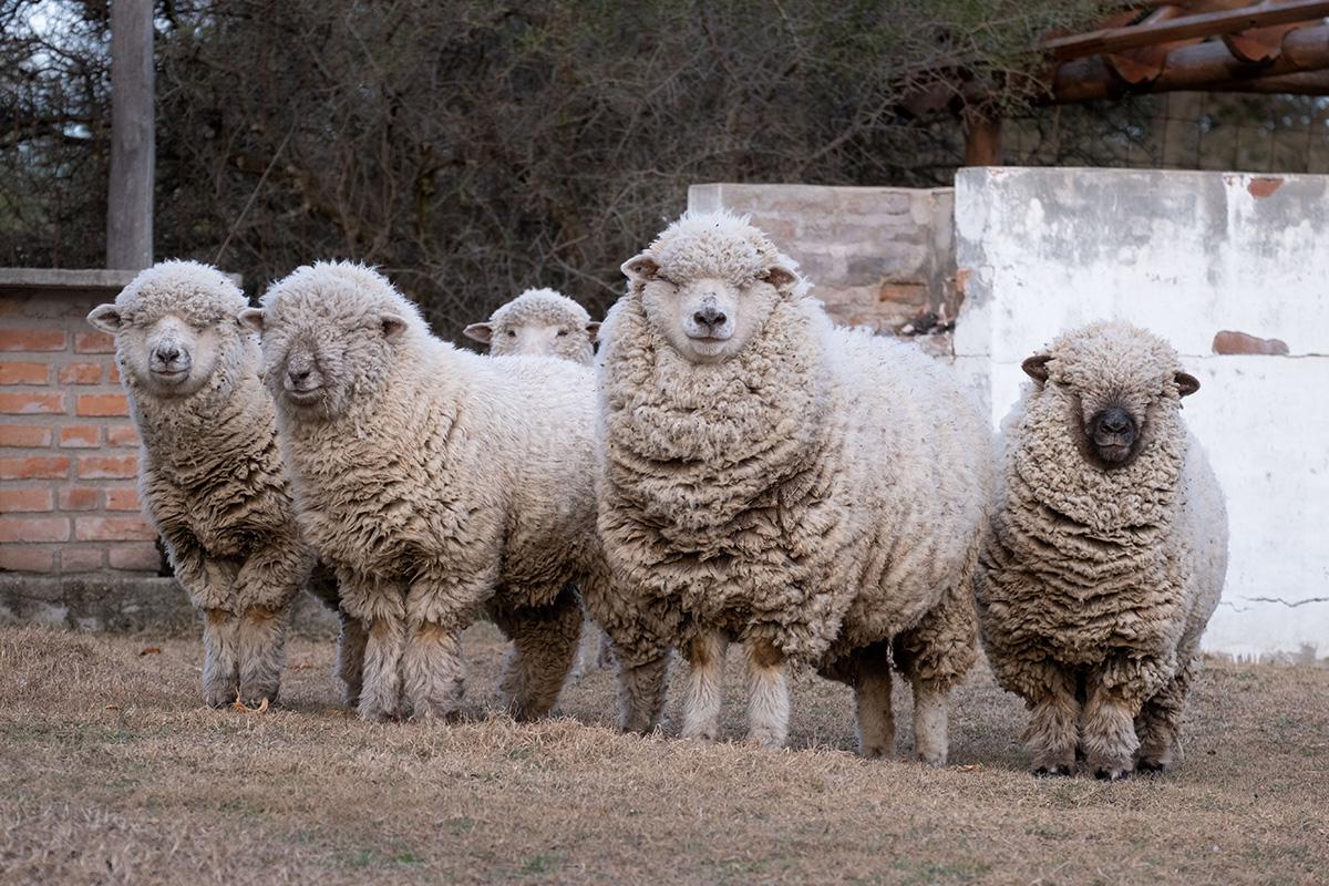 Quelques moutons me contemplent au parc municipal du mini-village de Saladillo.