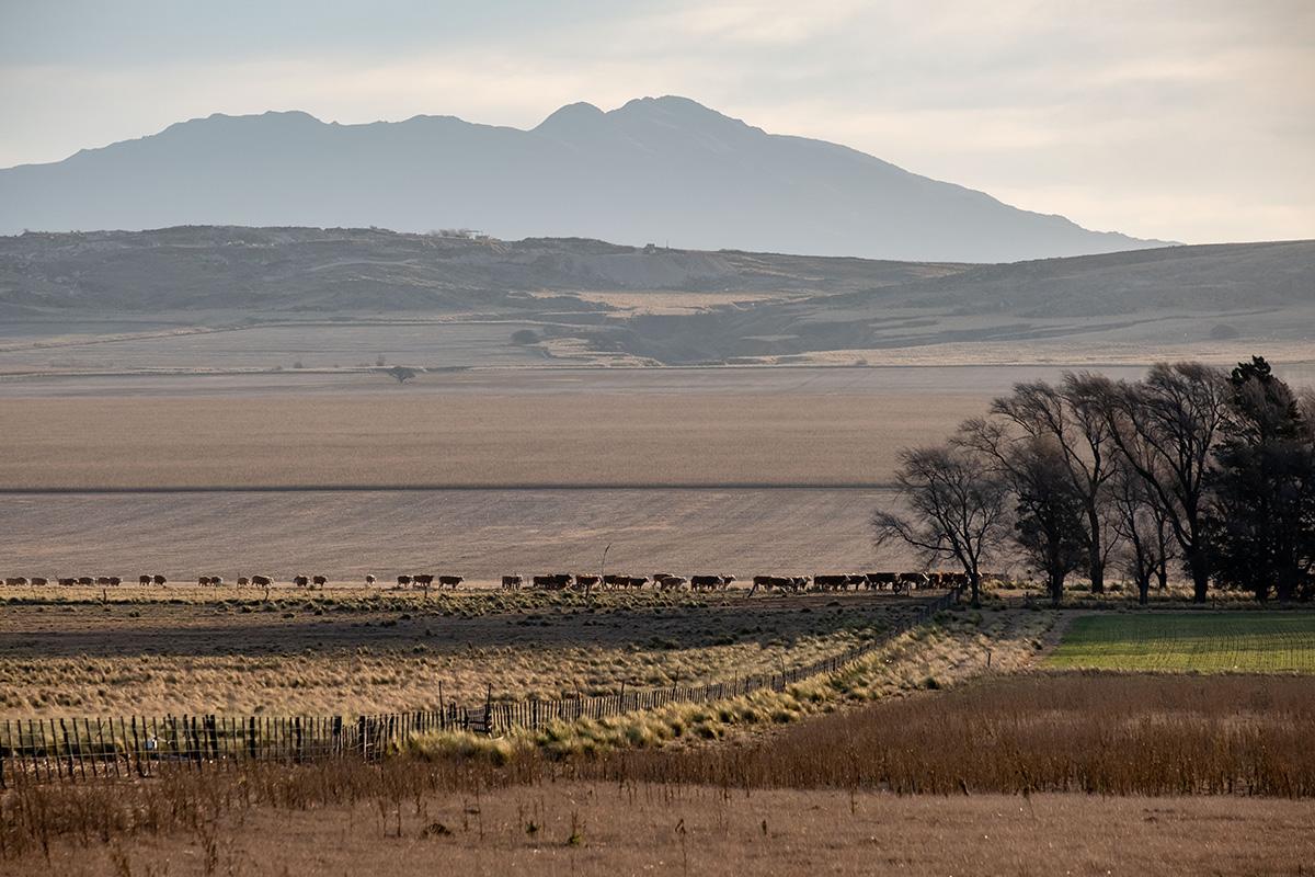 19-07-08---Vaches-aux-champs-(La-Punilla,-Argentine).jpg