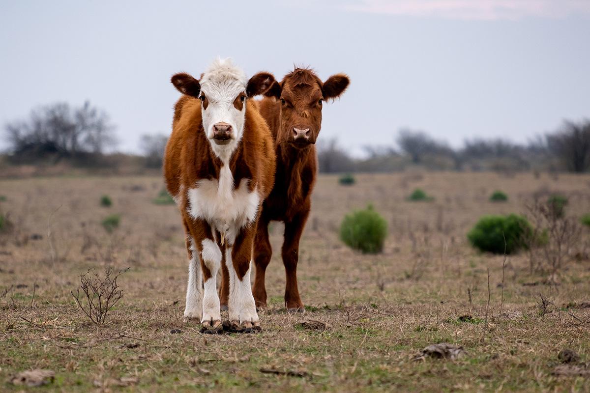 19-07-11---Vaches-(Rio-Cuarto,-Córdoba,-Argentine).jpg