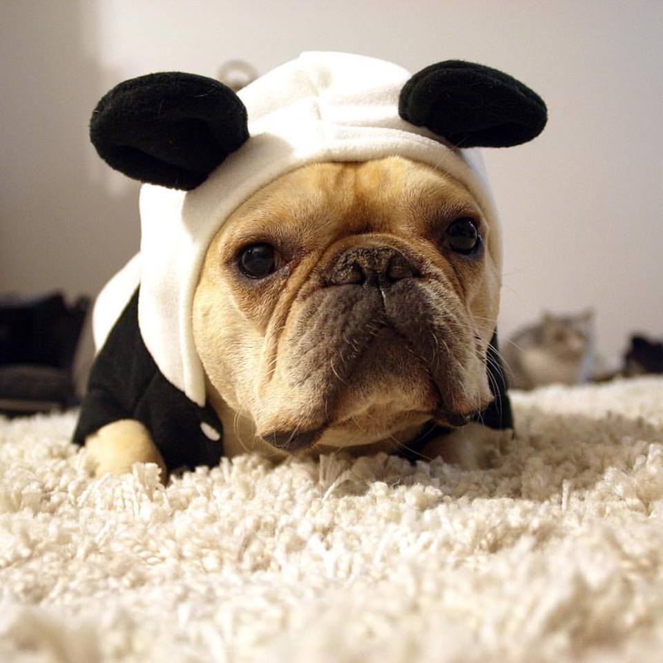 french bulldog dog panda costume