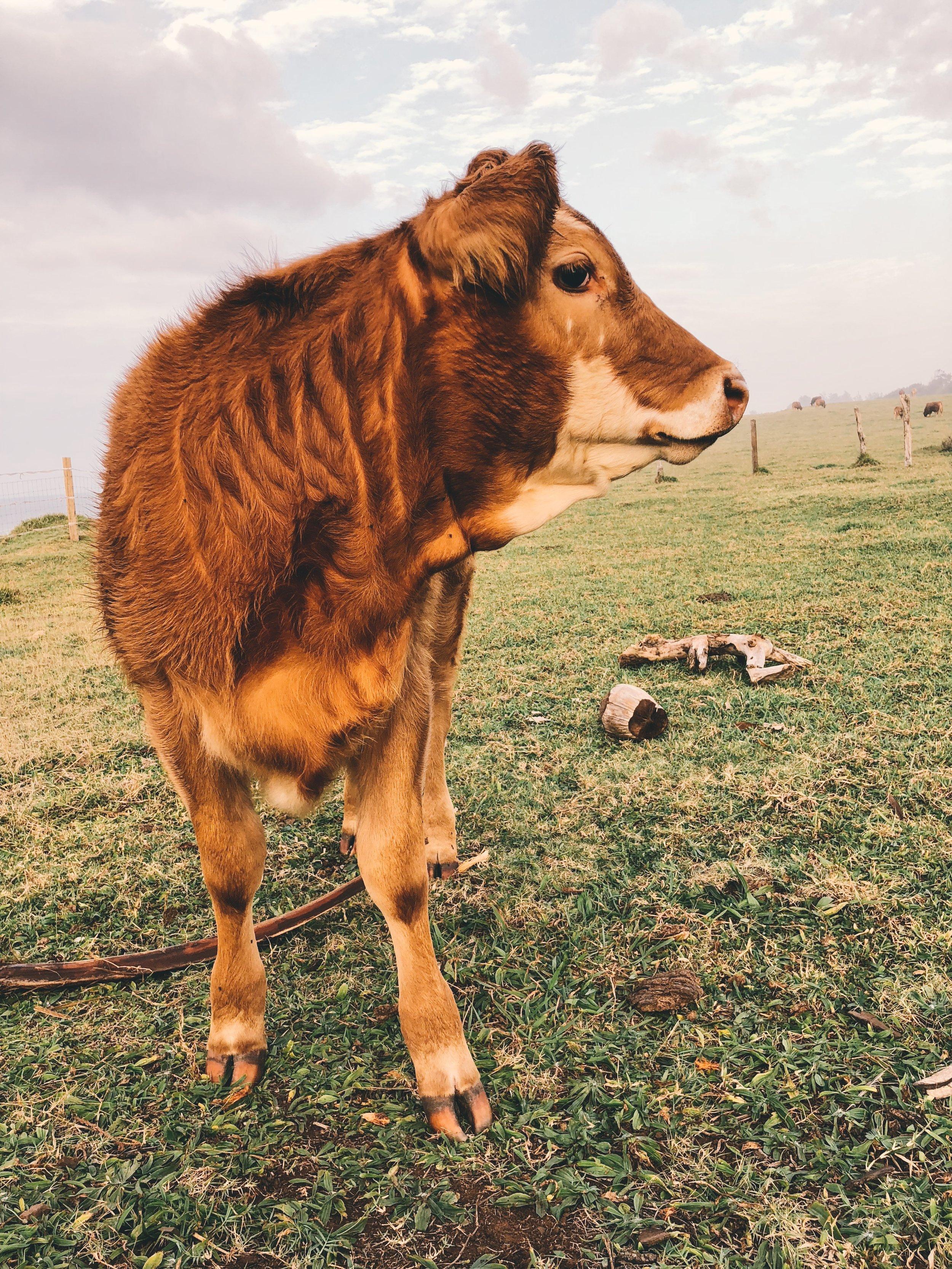 Maui Cow
