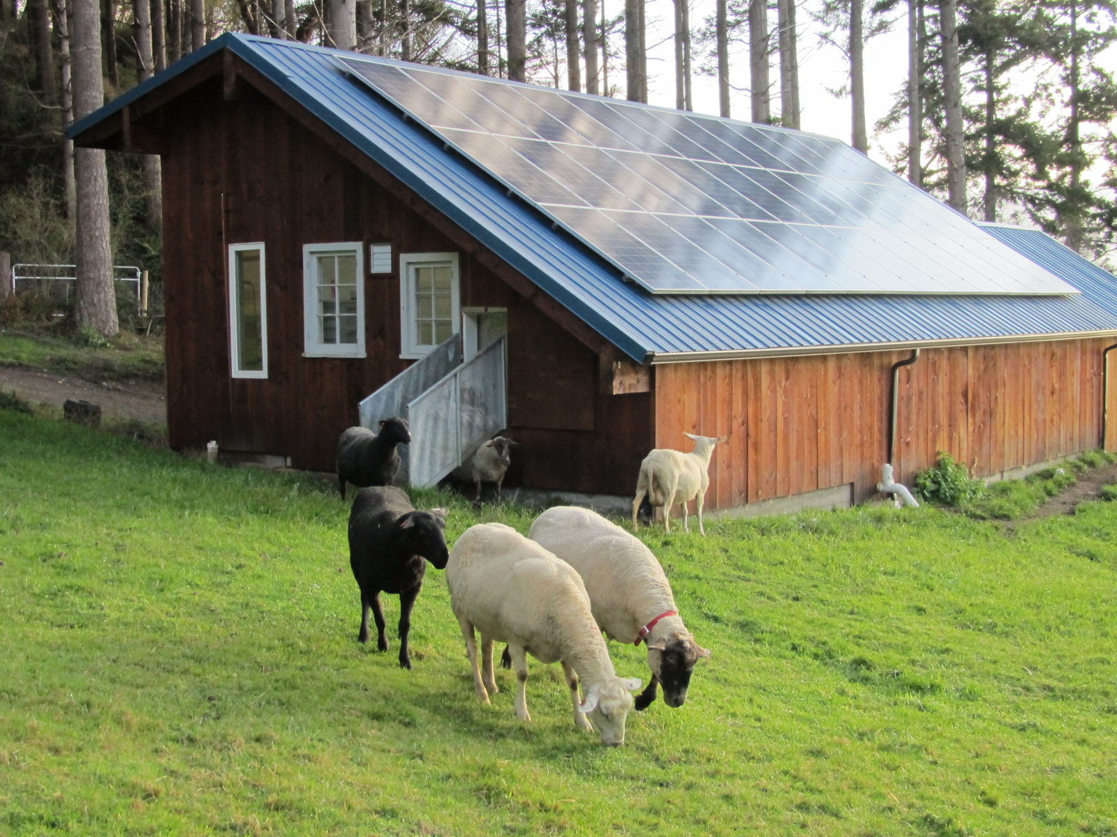 Ewes exiting the milking parlor | Photograph courtesy Glendale Shepherd