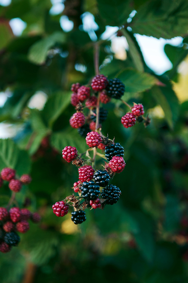 Old Chaser Farm Berries