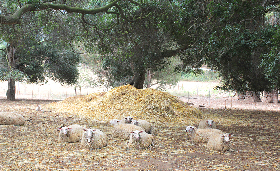 58a Sheep relaxing (900).jpg