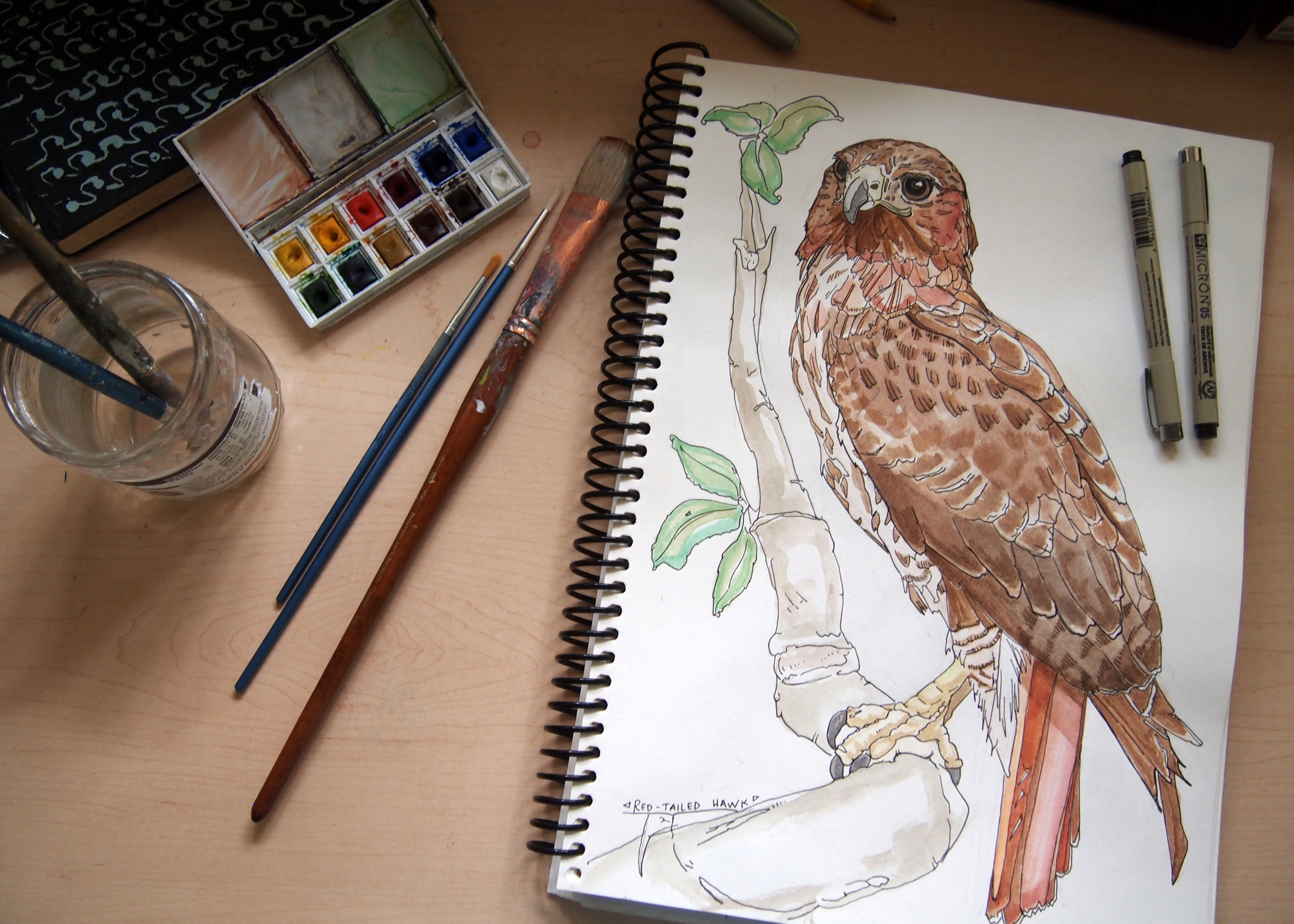 Ink and watercolor drawing of a red-tailed hawk.