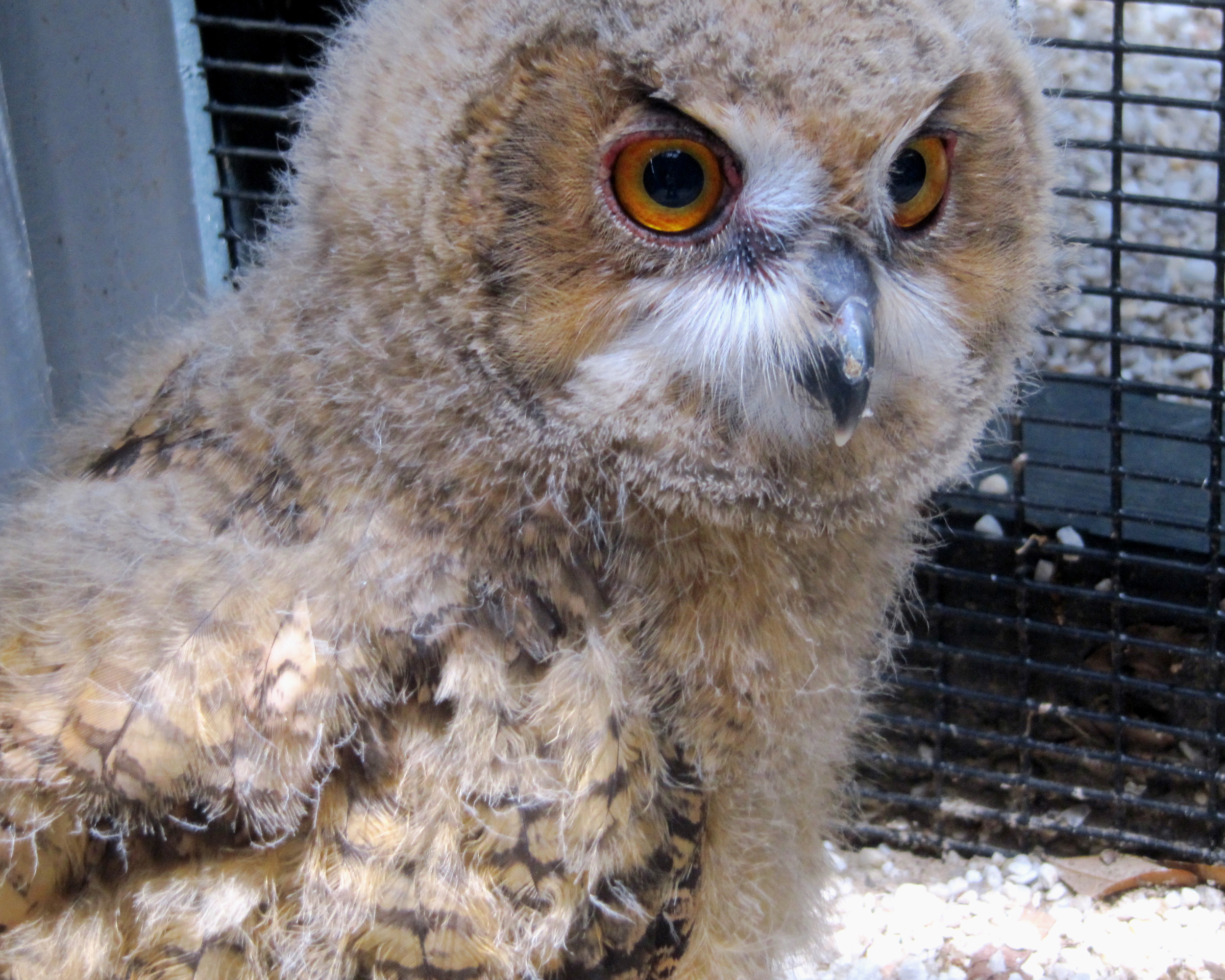 Eurasian eagle owl chick at the Center for Birds of Prey in Awendaw, SC.