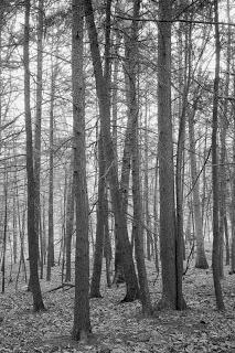 Foreboding+Trees.jpg