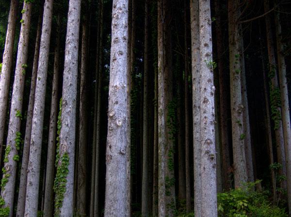 PJAP_Forestlines.jpg