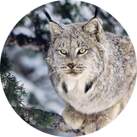 CanadianLynx.png