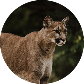 cougar.png