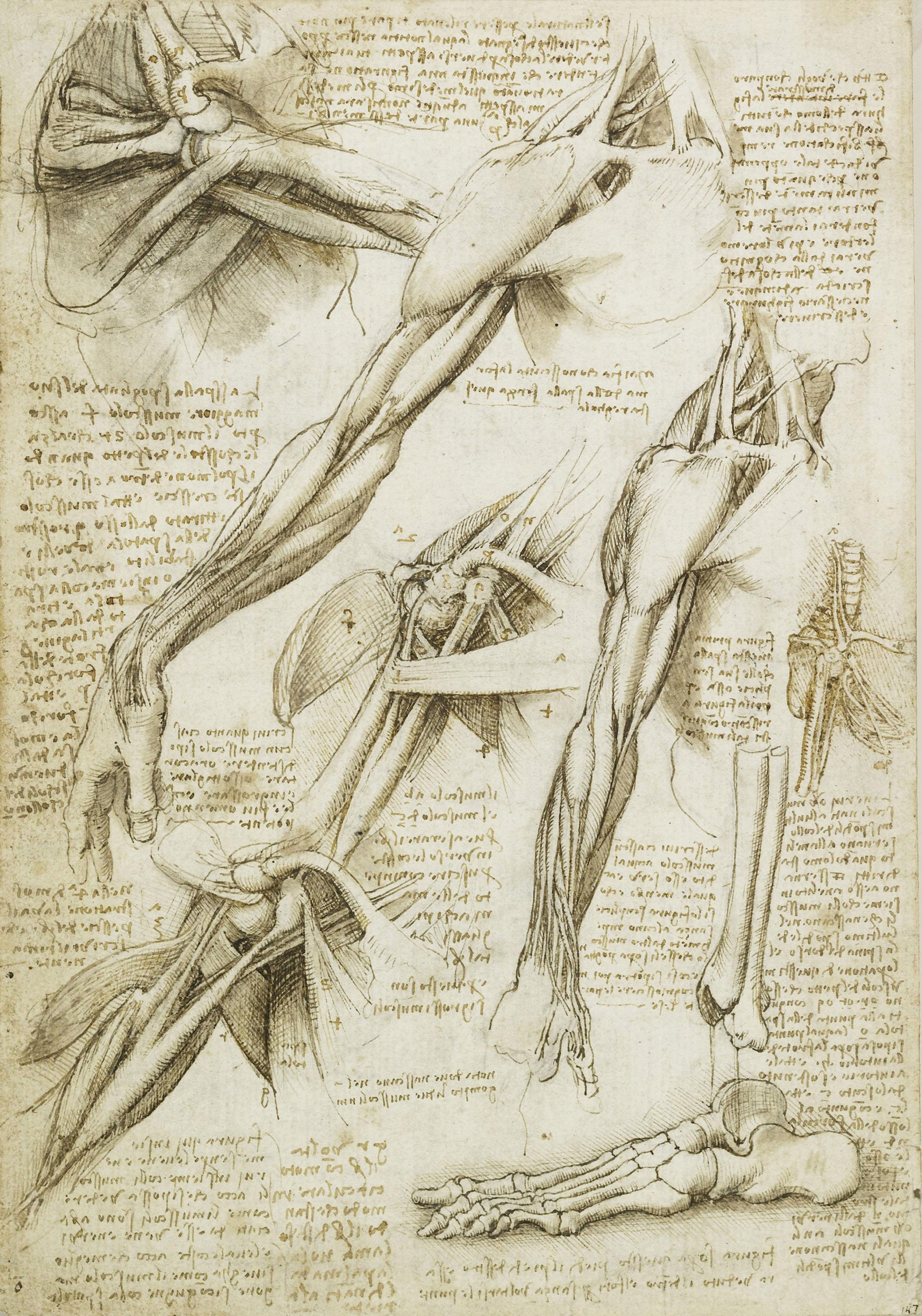 The muscles of the shoulder and arm, and the bones of the foot c.1510-11 | PC: Getty