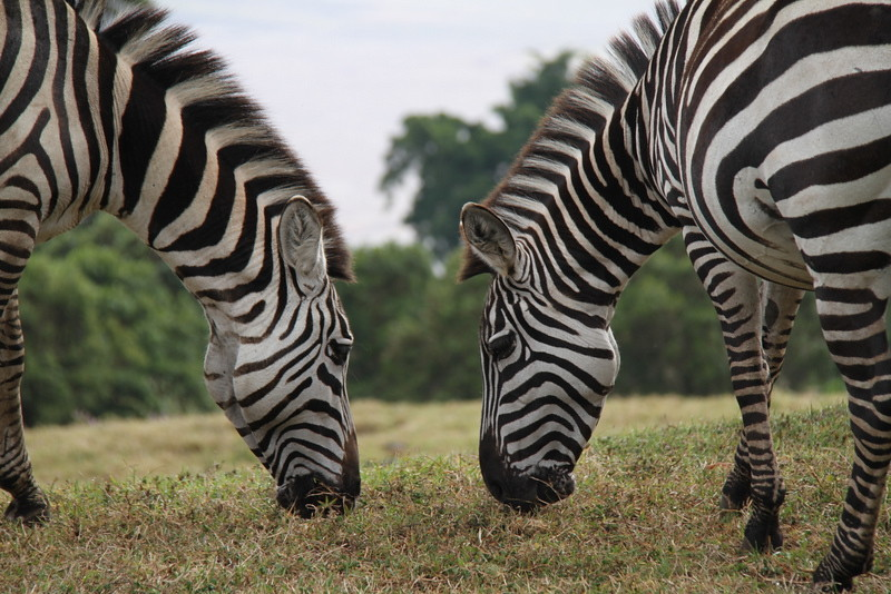 Chandler Lee Travels Zebras.jpg