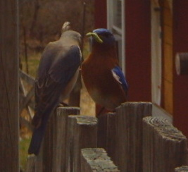 bluebird with worm.jpg