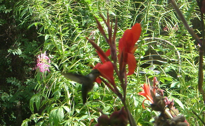 A hummingbird drinking from our Canna