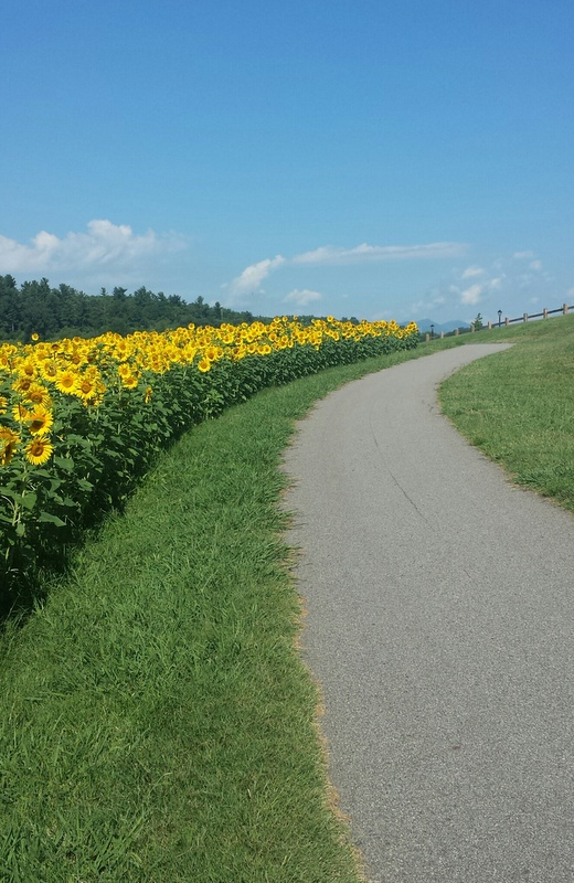 Sunflowers on the lagoon trail