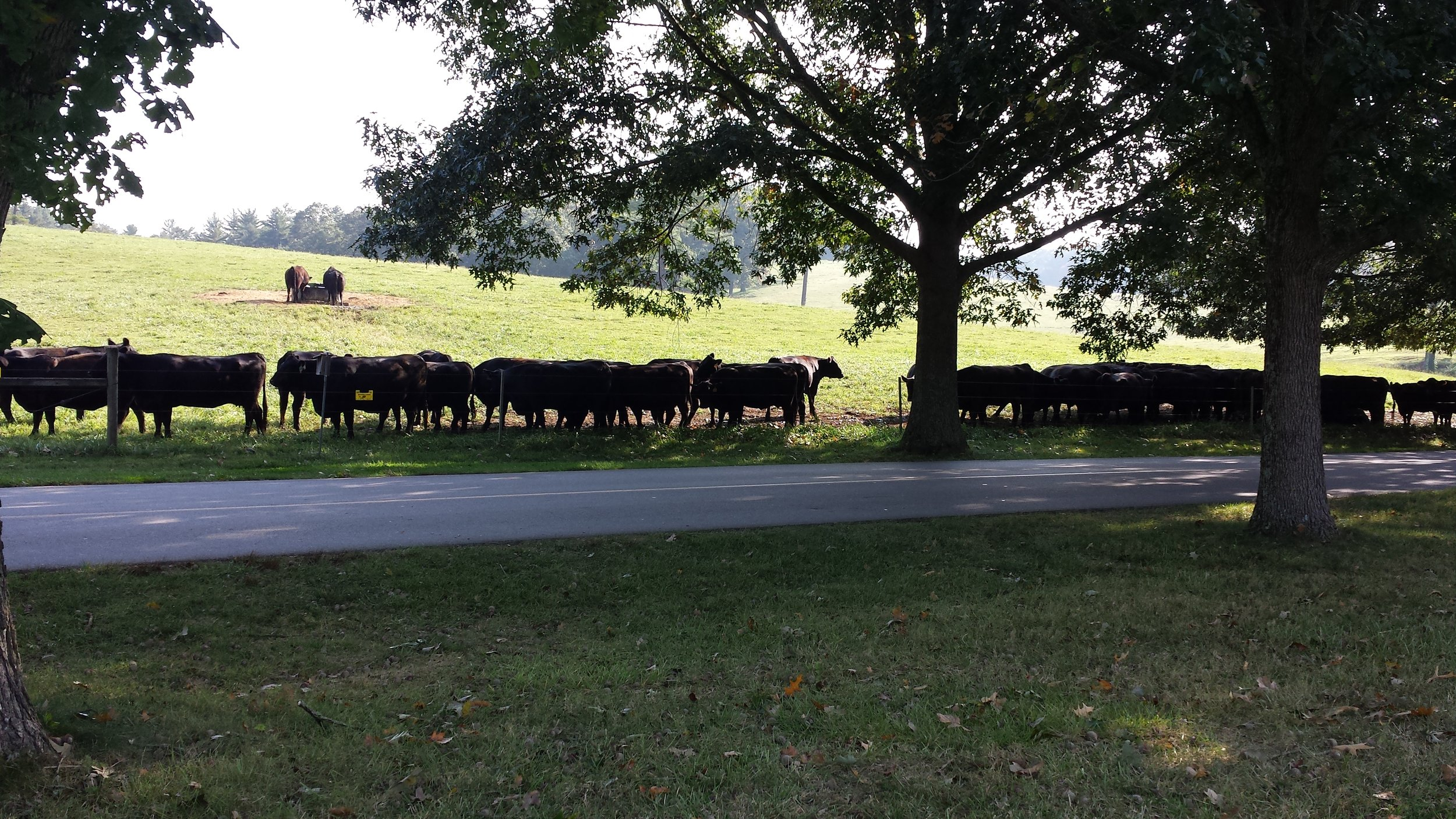 Cattle getting some shade